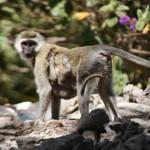 """""""Przyjacielska"""" wizyta małp"""